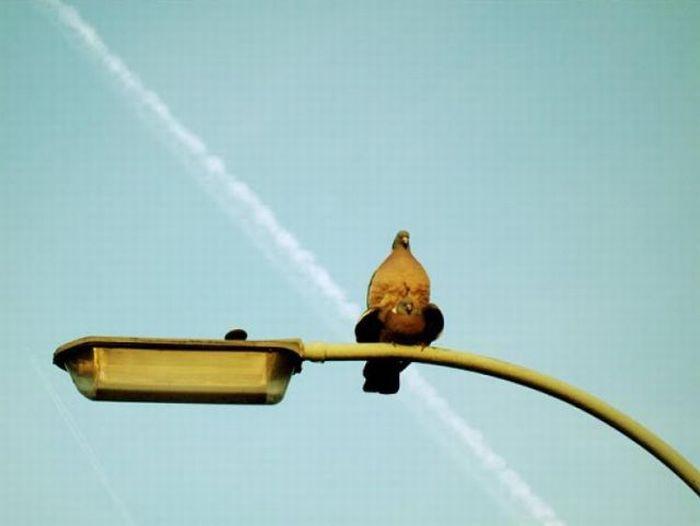 Namoro de pombos