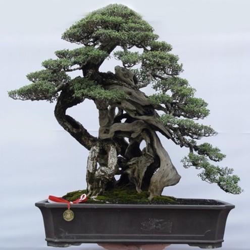 Bonsai 04