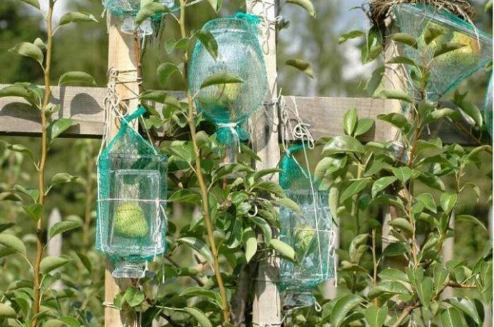 Peras dentro de garrafas