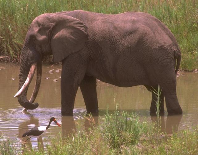 Elefante Africano x Asiático