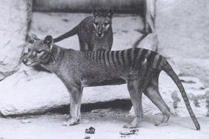 Animais extintos: o Tilacino