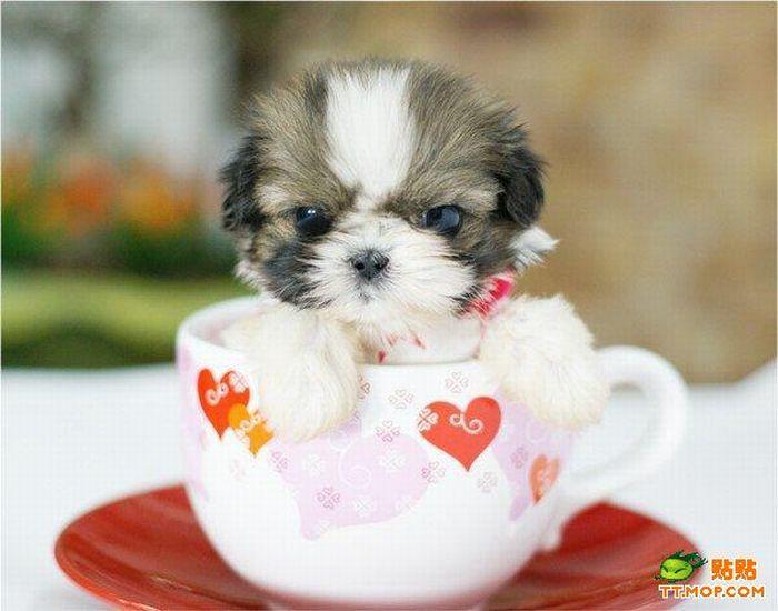Cãezinhos miniatura