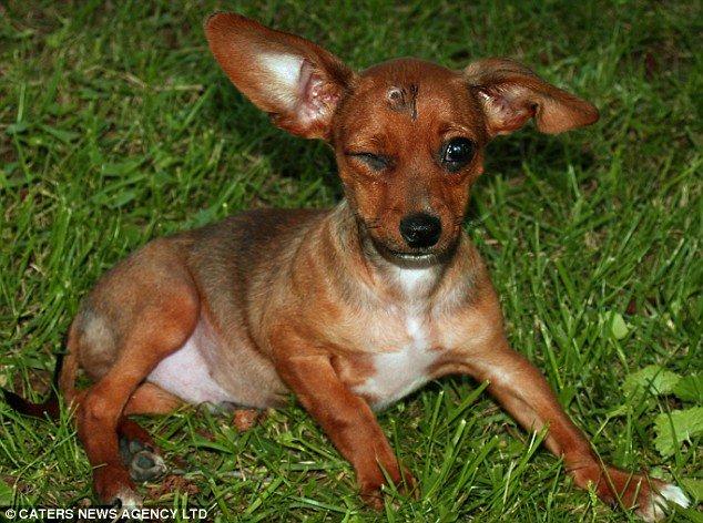 Cãozinho do Chuck Norris