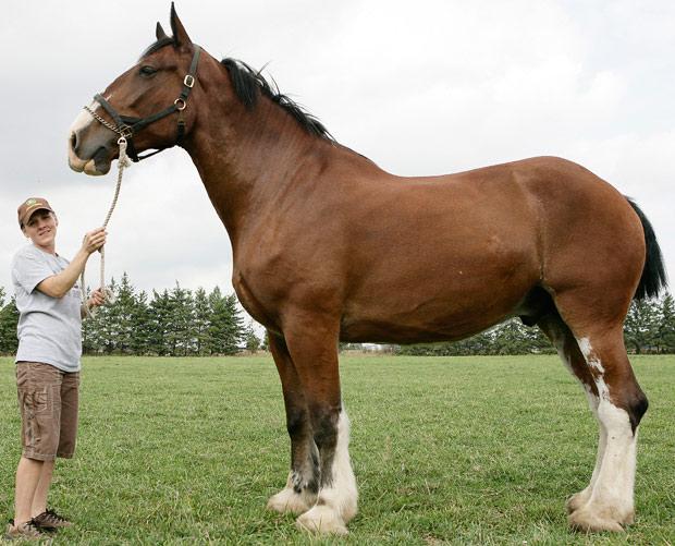 Poe, o maior cavalo do mundo