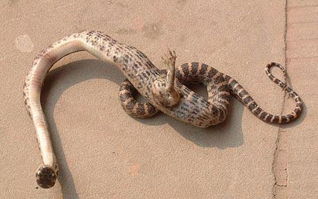 Capturam cobra com uma pata na China