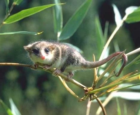 Um raro animal sul-americano lança nova luz sobre a evolução dos mamíferos