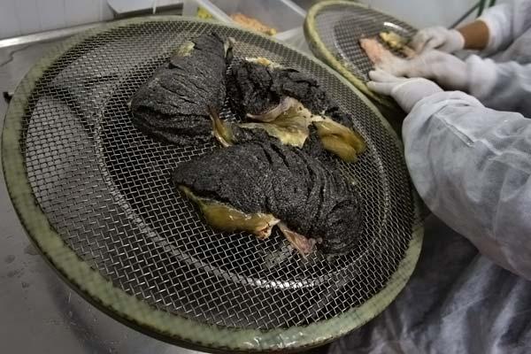 Cultivo e extração do caviar russo