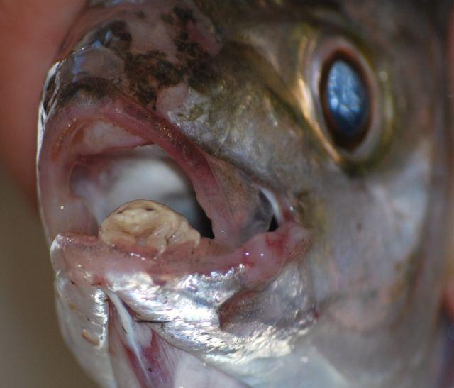 Cymothoa exigua, o parasita alien