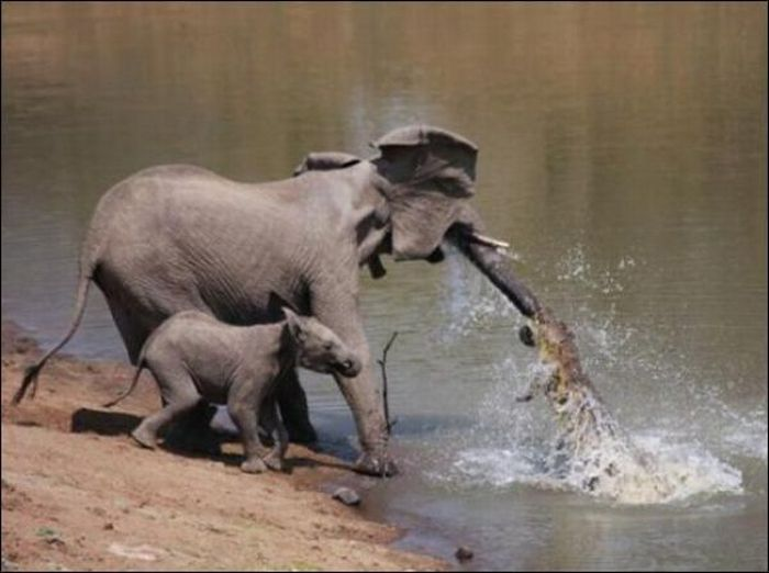 Pescando crocodilos com a tromba 01