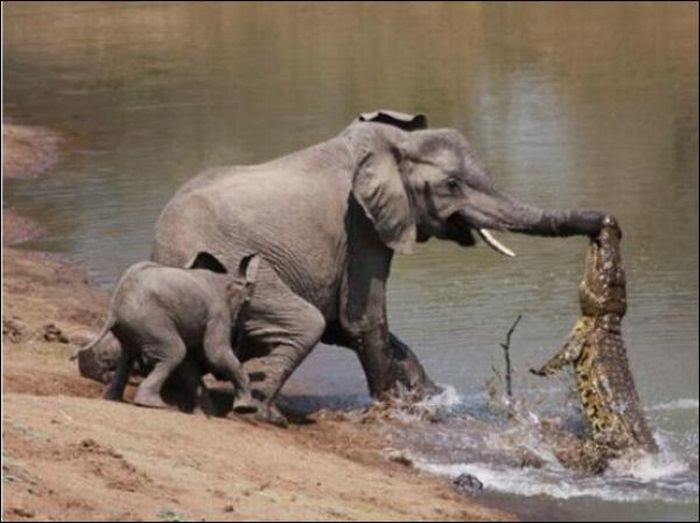 Pescando crocodilos com a tromba 02