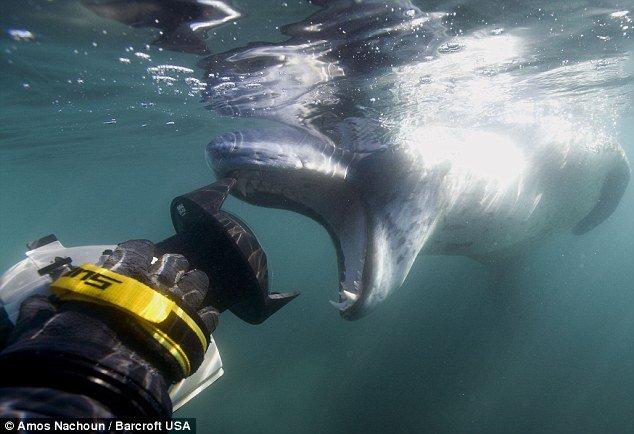 Um encontro assustador com a foca leopardo