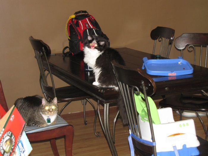 Chase, o gato sem face
