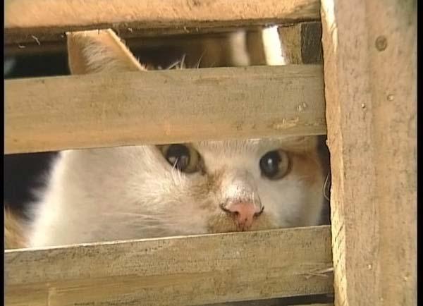 Os gatos de Guandong
