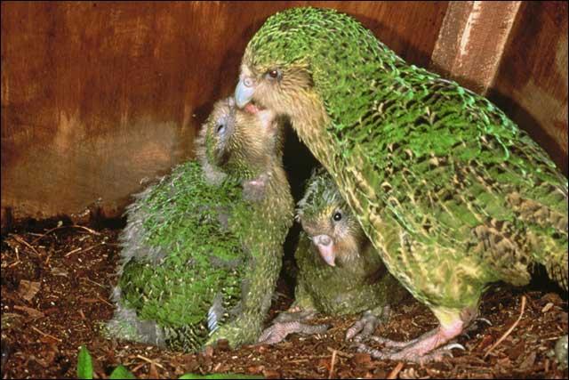 O Kakapo, espécie em perigo crítico de extinção