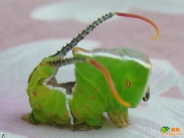 Animais fantásticos: a lagarta-serpente e a lagarta-caracol