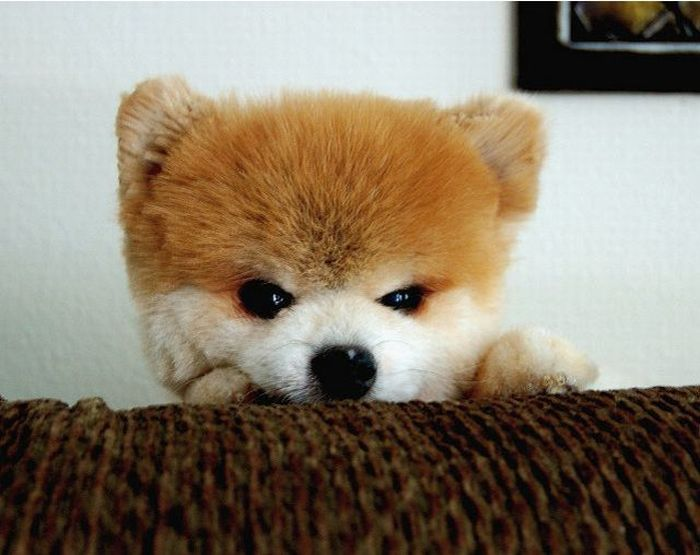 Lulu da Pomerânia, o cãozinho de pelúcia 01