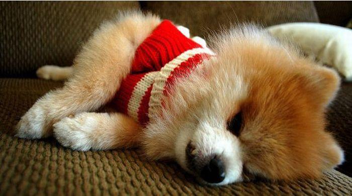 Lulu da Pomerânia, o cãozinho de pelúcia 02