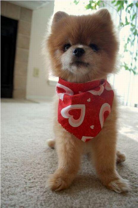 Lulu da Pomerânia, o cãozinho de pelúcia 03