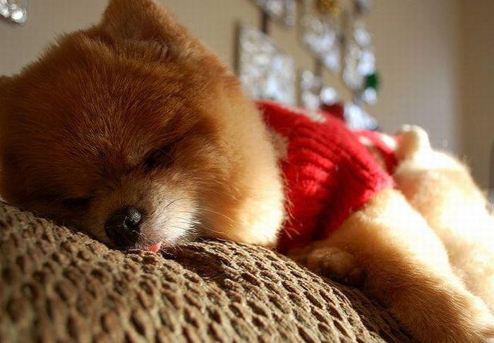 Lulu da Pomerânia, o cãozinho de pelúcia 04