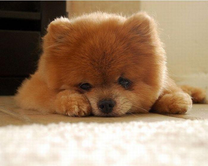 Lulu da Pomerânia, o cãozinho de pelúcia 05