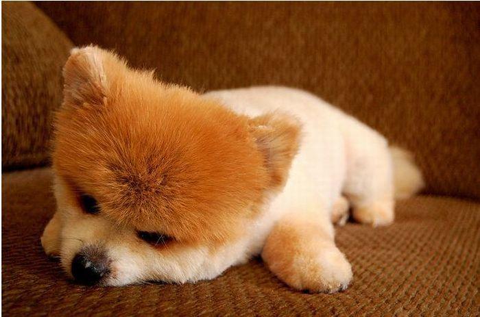 Lulu da Pomerânia, o cãozinho de pelúcia 06