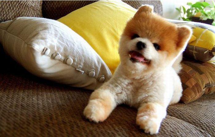 Lulu da Pomerânia, o cãozinho de pelúcia 07