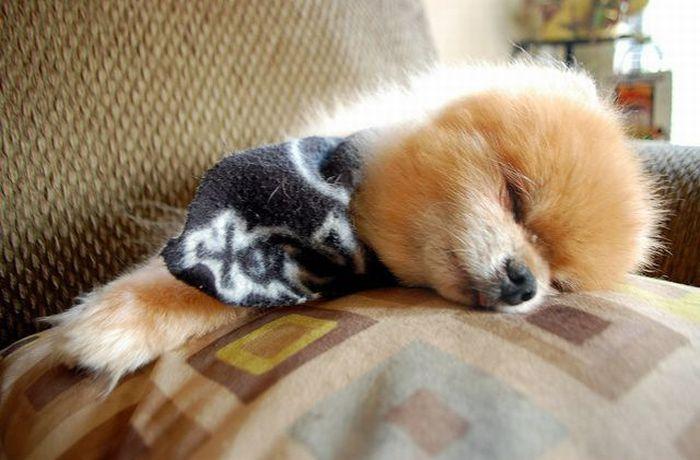 Lulu da Pomerânia, o cãozinho de pelúcia 10