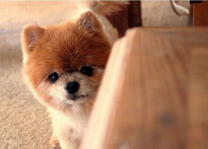 Lulu da Pomerânia, o cãozinho de pelúcia 12