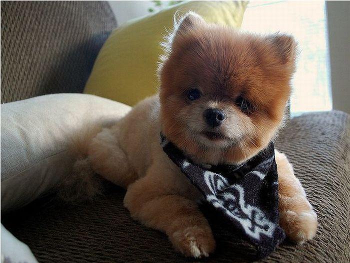 Lulu da Pomerânia, o cãozinho de pelúcia 13