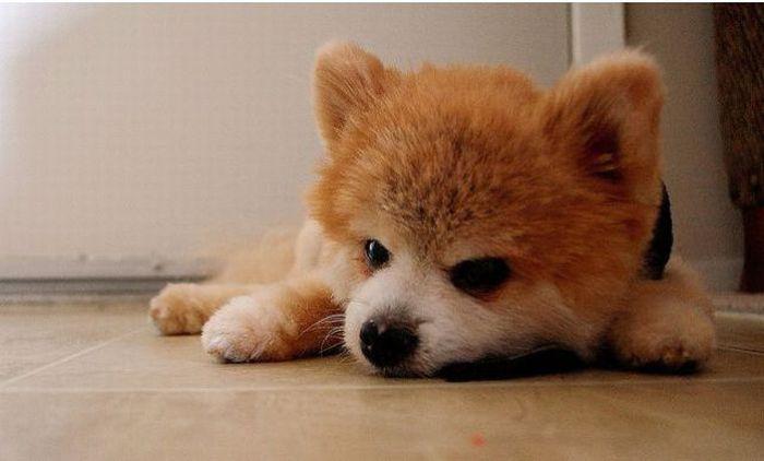 Lulu da Pomerânia, o cãozinho de pelúcia 14