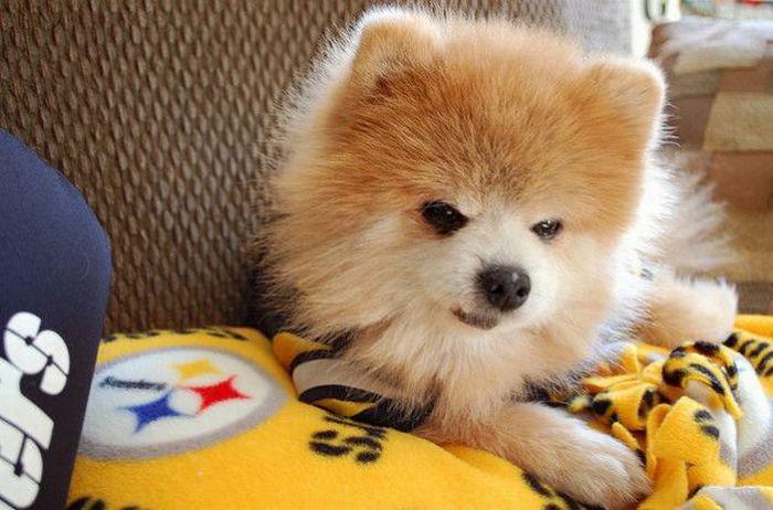 Lulu da Pomerânia, o cãozinho de pelúcia 16