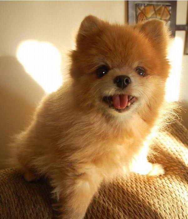 Lulu da Pomerânia, o cãozinho de pelúcia 17