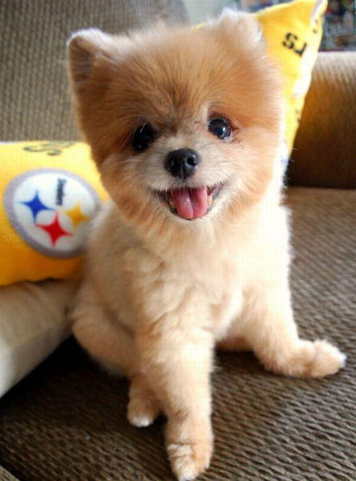 Lulu da Pomerânia, o cãozinho de pelúcia 18