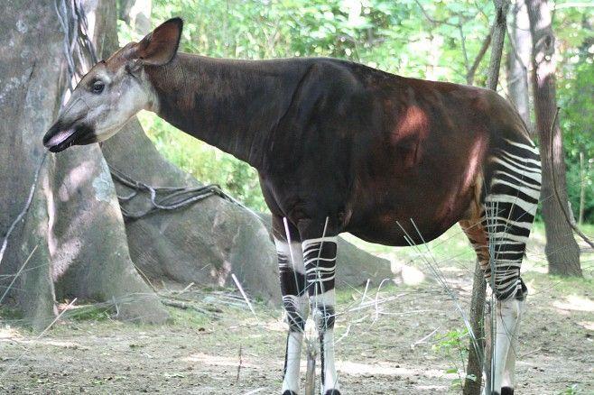 Cruza de Girafa com Zebra