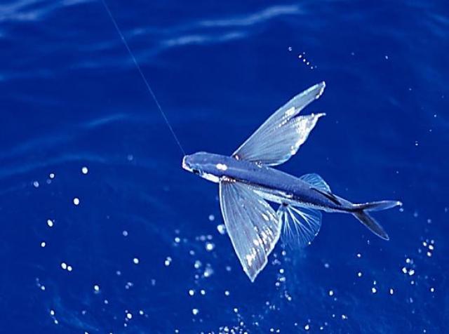 Exocetídeo, o peixe-voador