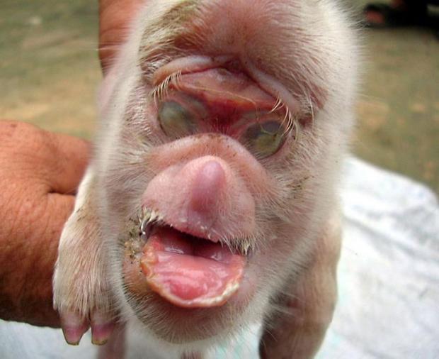 Novas fotografias do porco com cara de macaco
