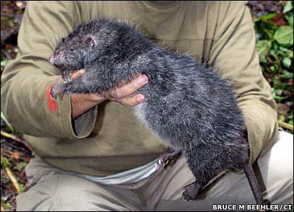 Encontram uma nova espécie de rato gigante em um vulcão de Papua Nova Guiné
