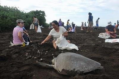 Saque ao ninho de tartarugas