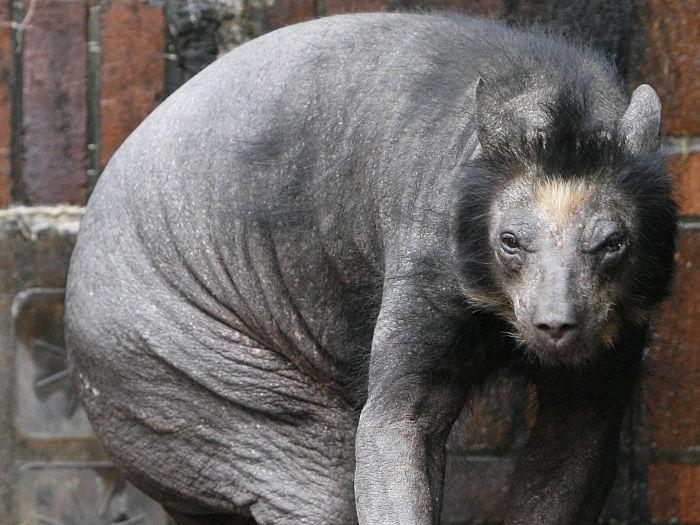Dolores, a ursa pelada de um zoológico alemão