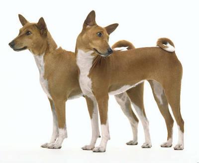 Basenji, o cão que não sabe latir