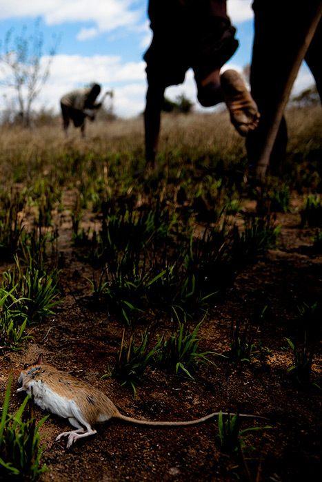 Os caçadores de ratos de moçambique 12