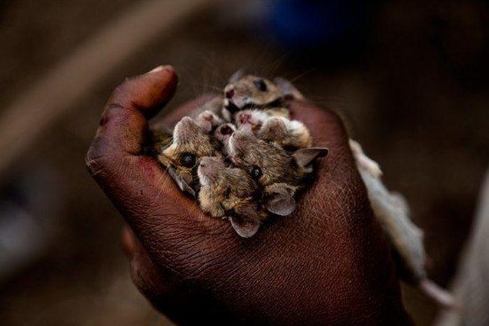 Os caçadores de ratos de moçambique 13