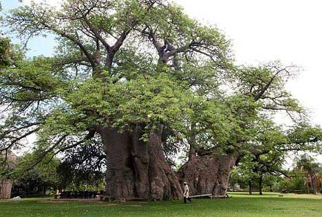 Baobar, o único bar dentro de uma árvore