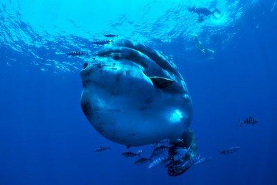 O maior peixe do mundo