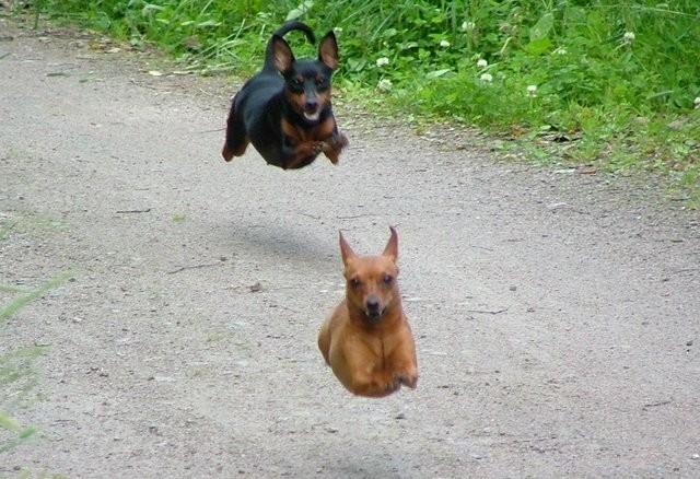 Cães voadores.