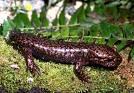 Salamandra Gigante